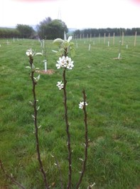 Tree Planting, Potters Bar, Herts